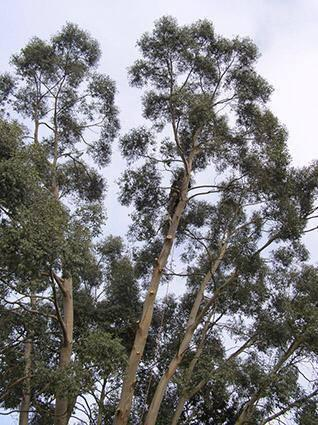 Image 18 - Eucalyptus Fell 3