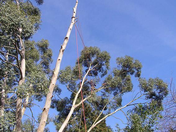 Image 20 - Eucalyptus Fell 5