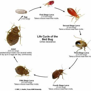 Image 6 - Bedbugs the worst pest every to have