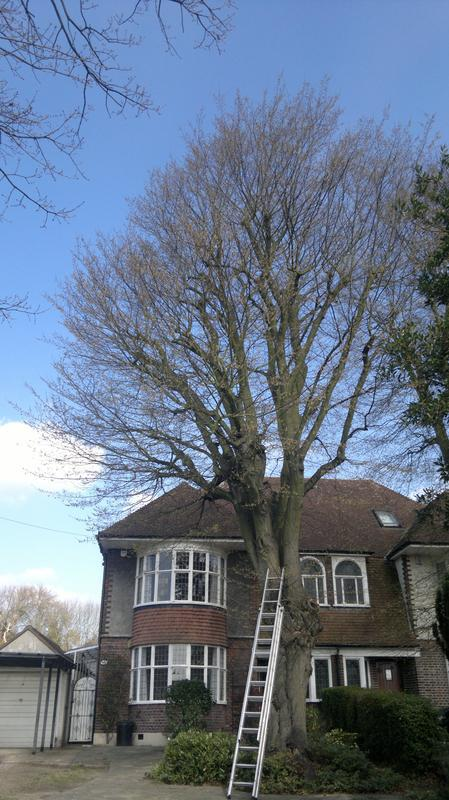 Image 21 - hornbeam reduction