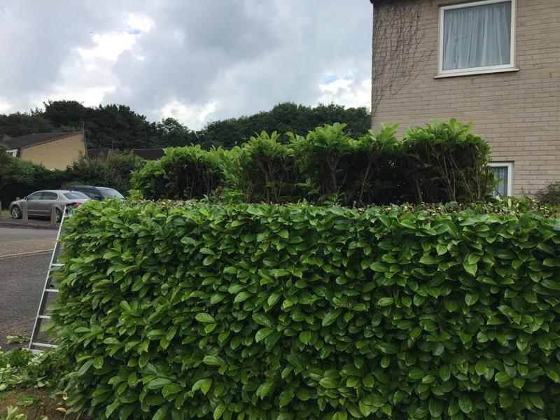 Image 6 - work in progress reducing and reshaping a laurel hedge in Peterborough.