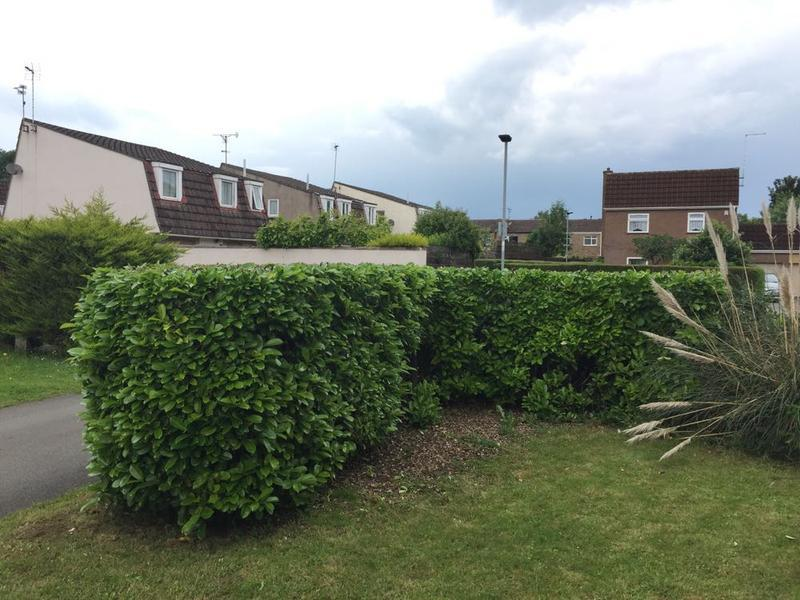 Image 7 - the laurel hedge now reduced and reshaped, in Peterborough.
