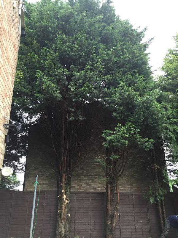 Image 2 - conifer removal in Wellingborough