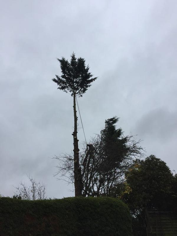 Image 19 - Just the top branches left to remove from a large conifer in Rushden.