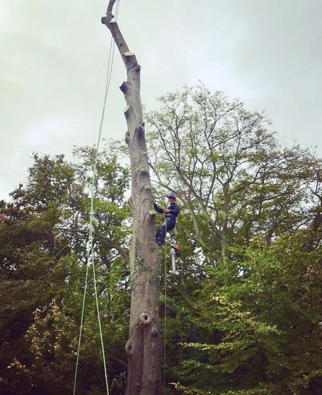 Image 24 - Big Beech tree removal in Ware, Hertfordshire.