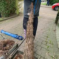 Image 39 - Mass root pulled and rootcut out of a drain