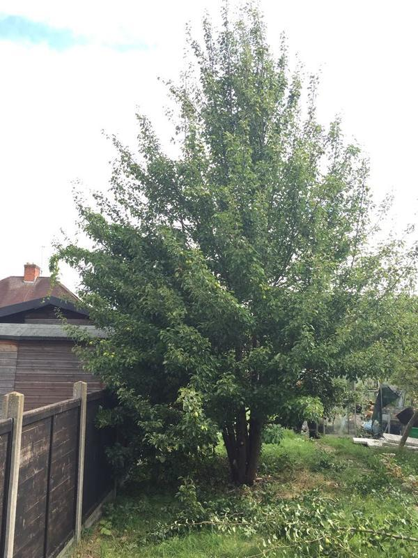 Image 9 - A before picture of pear tree to be reduced in Deaborough, Kettering.