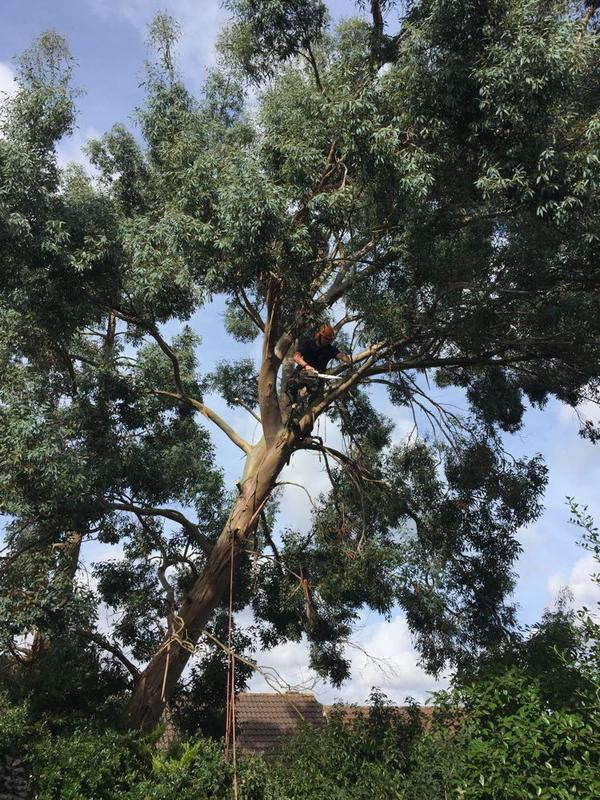Image 11 - Branches from a Eucalyptus tree in Northampton to be removed back to boundary to allow more light  in the garden.