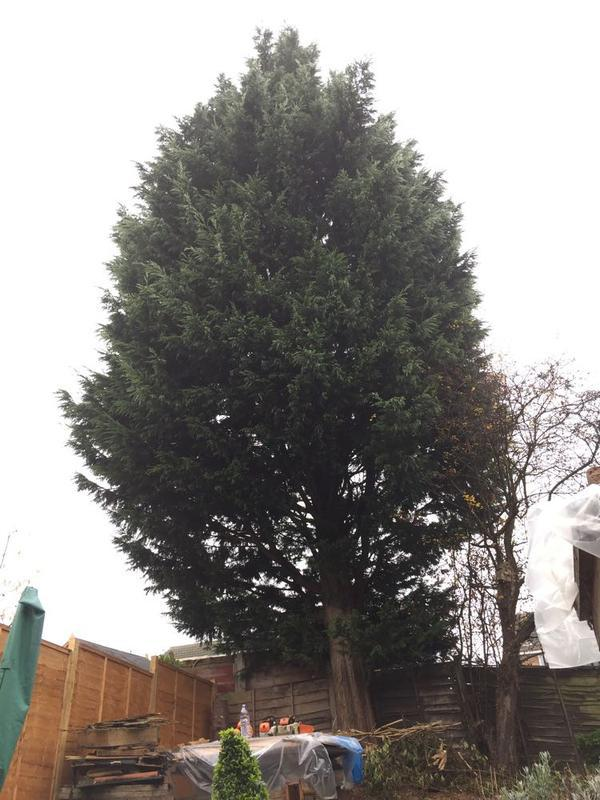 Image 17 - A large conifer in a very small garden to be dismantled and hung over four other gardens in Rushden.