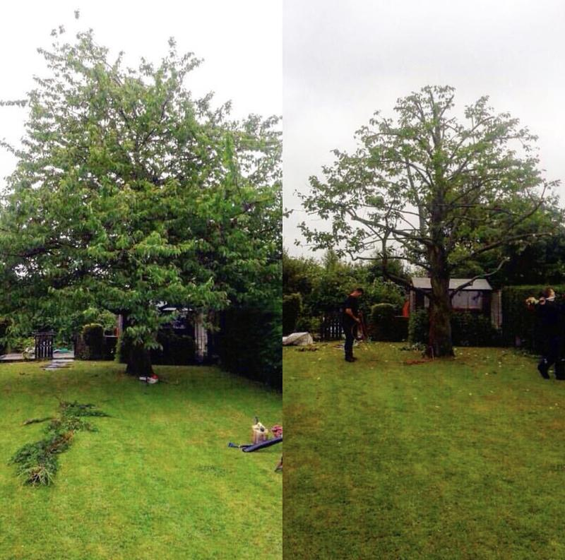 Image 16 - 30% Crown Reduction on this Cheery Tree in North Weald. Before and after