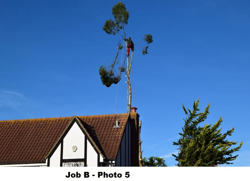 Image 18 - During large Eucalyptus removal.