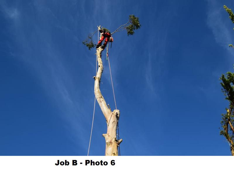 Image 19 - During large Eucalyptus removal.