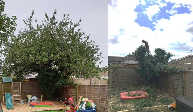Image 2 - Apple Tree reduction