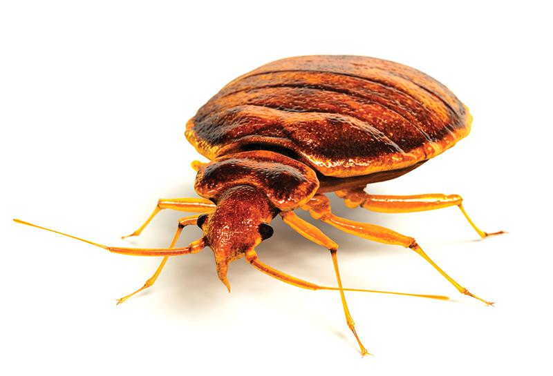Image 5 - Bed Bugs have become one of the fastest growing pest issues worldwide. Hitching a ride on your clothing and belongings, bed bugs can easily infest practically anywhere we humans frequent. Homes, offices, cinemas, hotels, aircraft, the list is endless. Unfortunately, nothing is immune to a Bed Bug infestation. Bed Bugs require a human blood meal to survive. As the name suggests, Bed Bugs will often live and breed in and around your bed. As a result, bed bugs in your home can lead to sleepless nights and extremely high levels of stress. A bed bug infestation in your business can affect staff morale, work output and impose a real threat to your good reputation, especially if you run a hotel or similar establishment.CID Pest Control take Bed Bug Control very seriously. We have exceptional experience in dealing with bed bugs in a variety of environments. We will ensure you get the most cost effective solution and treatment plan for your particular circumstances. CID Pest control will provide you with a complete integrated approach. Our technician will clearly highlight the causes of your bed bug problem and supply you with our recommendations to assist you in preventing any future infestation.
