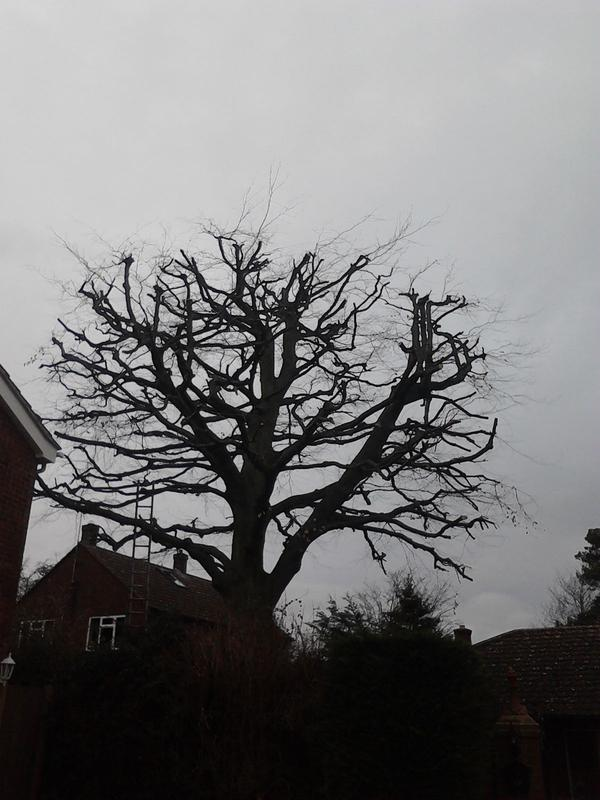 Image 5 - beech tree after reduction