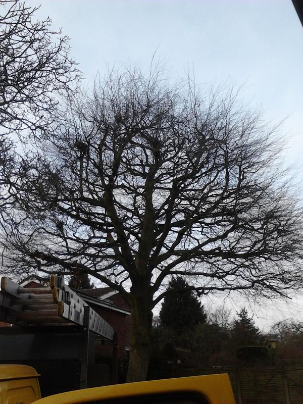 Image 4 - beech tree before reduction