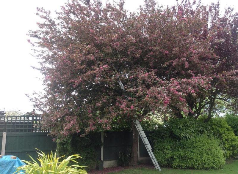Image 25 - Cherry blossom trim in Dagenham before