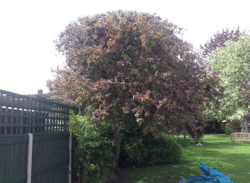 Image 26 - Cherry blossom trim in Dagenham after