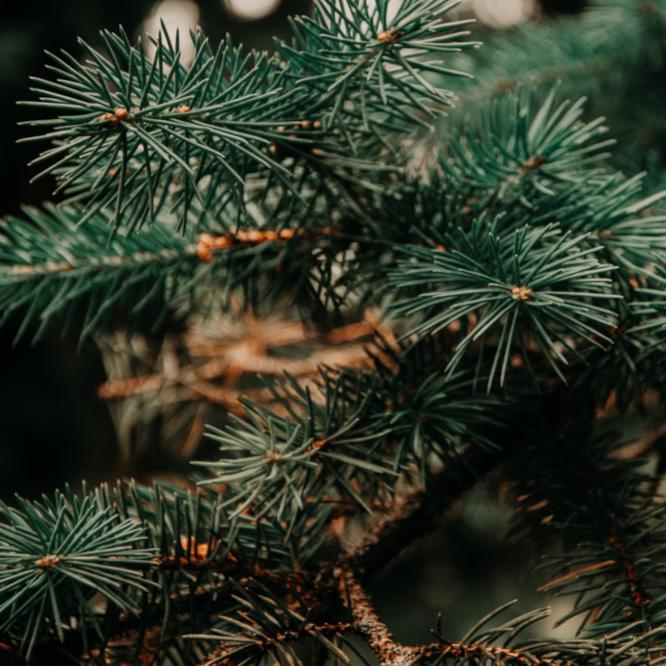 Oh Christmas Tree, Oh Christmas Tree! Top Tips To Keep Yours Green And Healthy