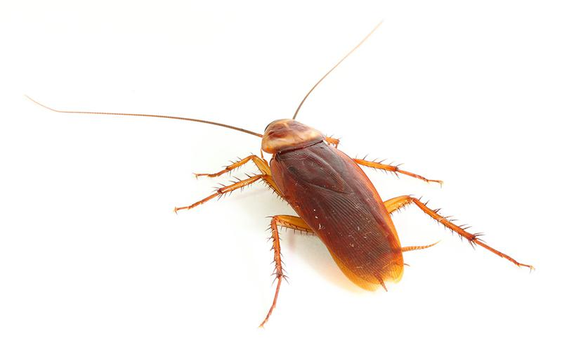 Image 11 - Cockroaches can be found breeding or hiding in nooks and crannies in and around your home or business. They are not fussy eaters and will feed on pretty much anything. They are capable of squeezing through tiny crevices in order to enter your property via any available route. Once inside, Cockroaches will rapidly reproduce. Cockroaches pose a substantial risk to your health and the reputation of your business.CID is fully experienced, qualified and equipped to eliminate and maintain control of cockroaches. Our Technician will identify the source and species, locate their hiding places, causing factors and all points of entry and implement an efficient, economic and safe form of pest control. On completion, we will supply you with our recommendations to assist you in preventing any future infestation.