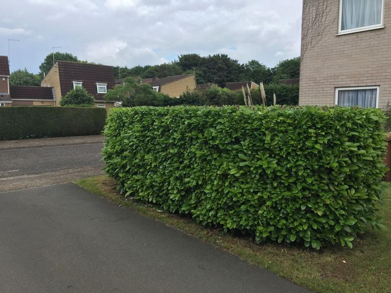 Image 8 - reduced and reshaped laurel hedge in Peterborough.