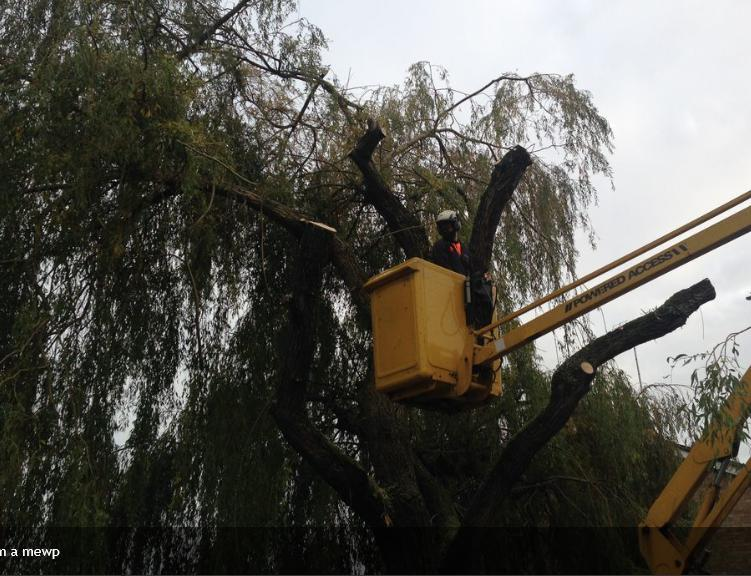 Image 5 - Pollarding a Weeping Willow from a MEWP.