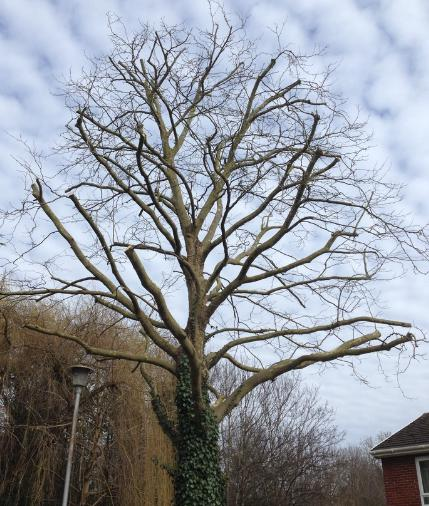 Image 2 - Crown reduction by 2 - 3m on this London plane tree.