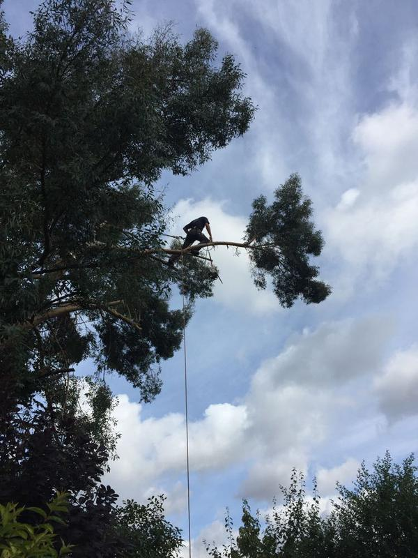 Image 12 - the climber making his way out further on the eucalyptus tree that is being taken back to boundary.