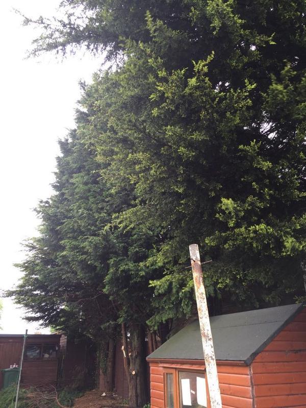 Image 1 - removal of leylandii conifer in Wellingborough, Northants.