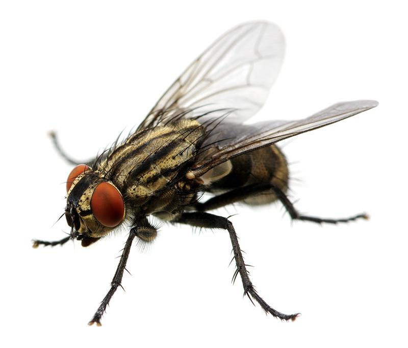 Image 7 - There are many different species of Fly that pose a threat to your health and business. Generally speaking, each variety will breed and develop in specific conditions. When the environment is just right, Flies will breed and numbers will rapidly multiply into their hundreds.CID Pest Control provide a full range of solutions to deal with any Fly issue. We will identify the species, causing factors and potential threats before treating with an efficient, economic and safe form of pest control.