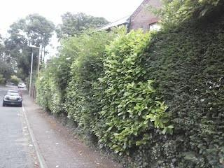 Image 6 - mature hedge before cutting