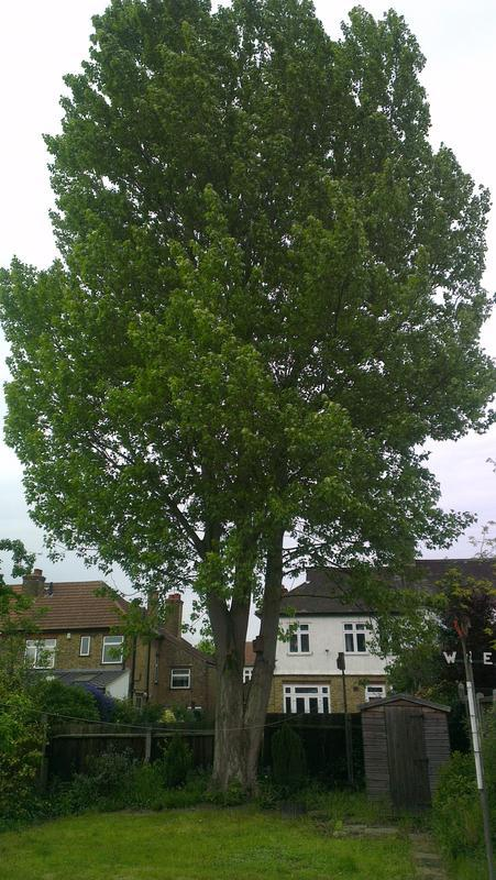 Image 1 - tree felling poplar tree
