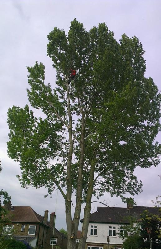 Image 2 - tree felling poplar tree
