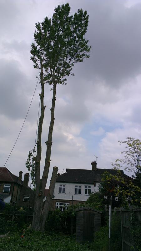 Image 3 - tree felling poplar tree