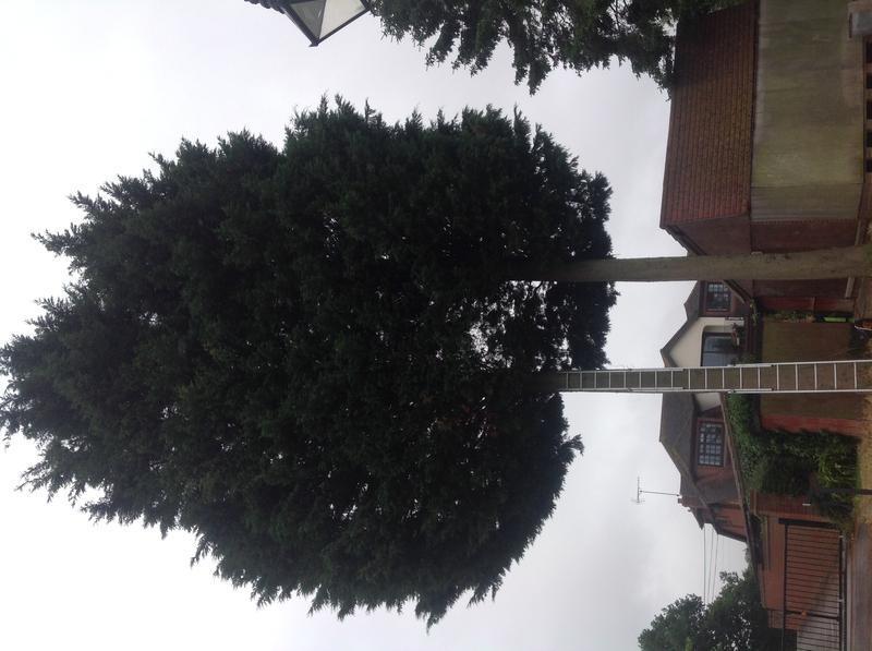 Image 16 - Conifer take down Hullbridge before