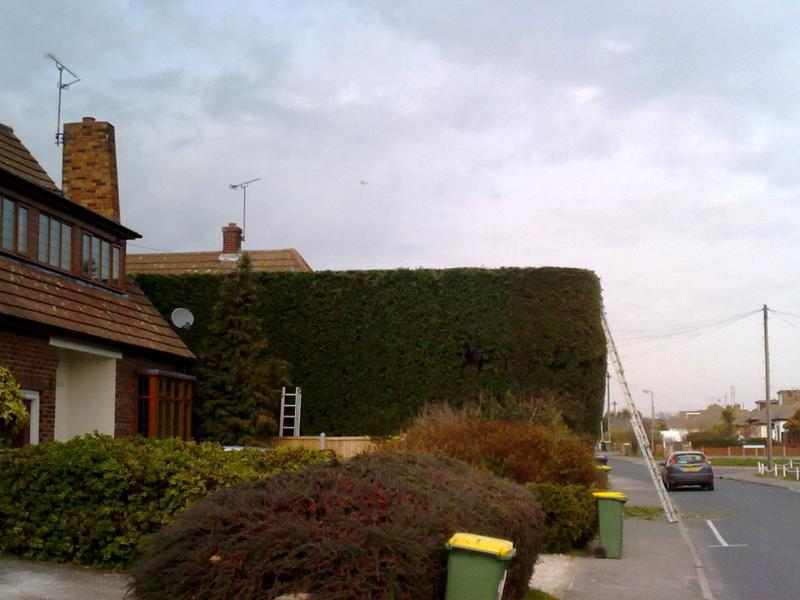 Image 1 - Conifer topping in Rochford