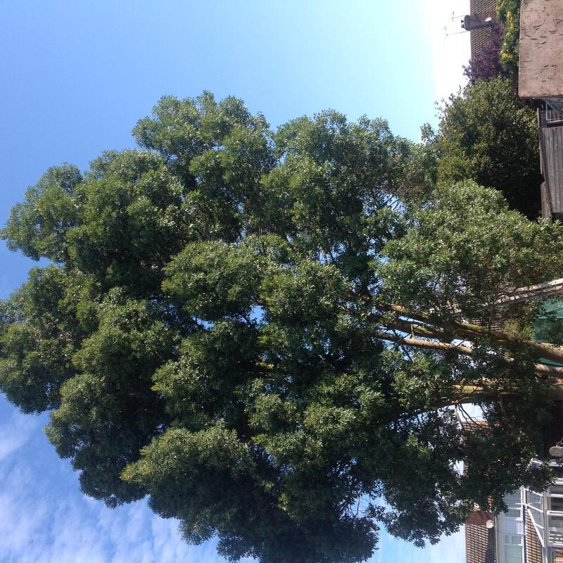 Image 4 - Eucalyptus reduction in Hullbridge before