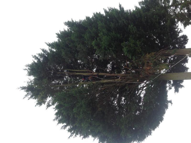 Image 17 - Conifer take down Hullbridge during