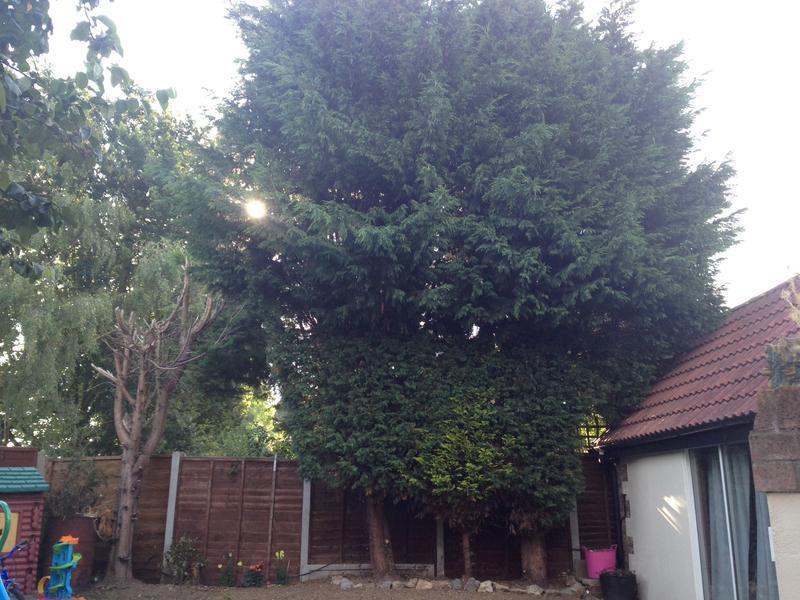 Image 9 - Conifer take down in Maldon before