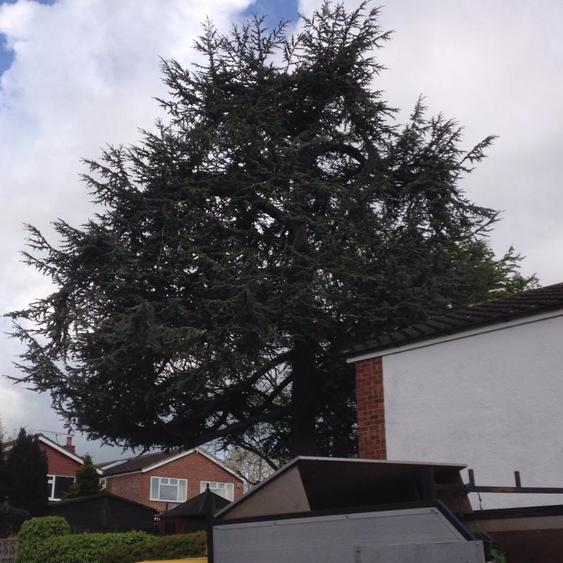 Image 2 - mature ceder tree before a reduction