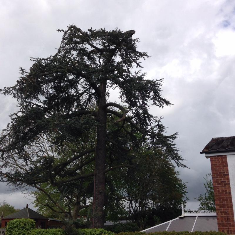 Image 3 - mature ceder tree after a reduction