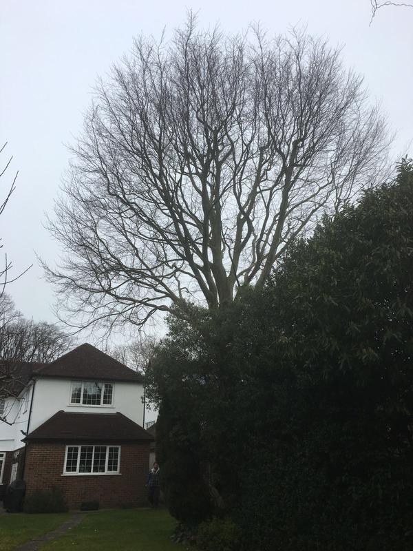 Image 6 - mature beech tree, before 30% reduction