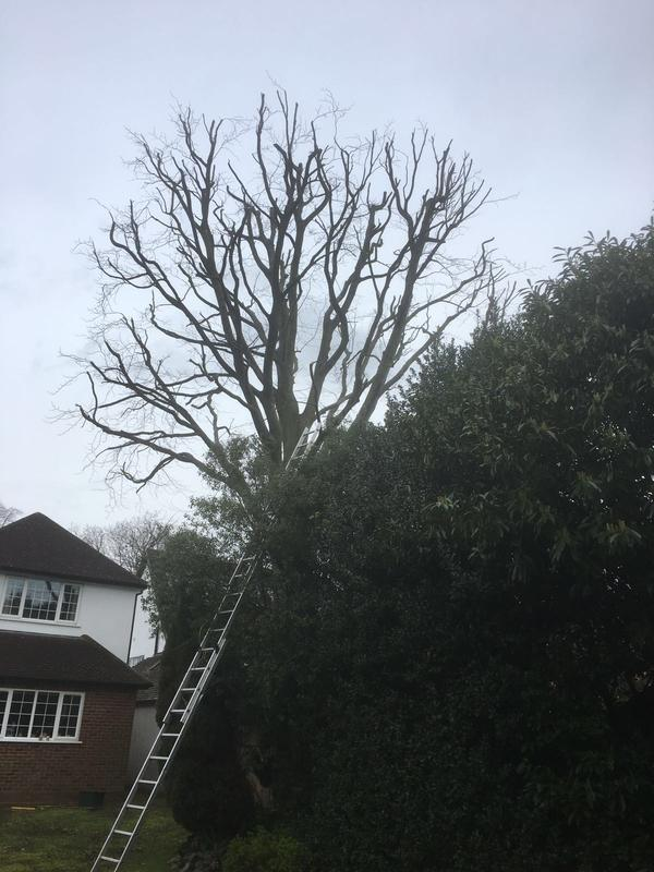 Image 7 - mature beech tree, after 30% reduction