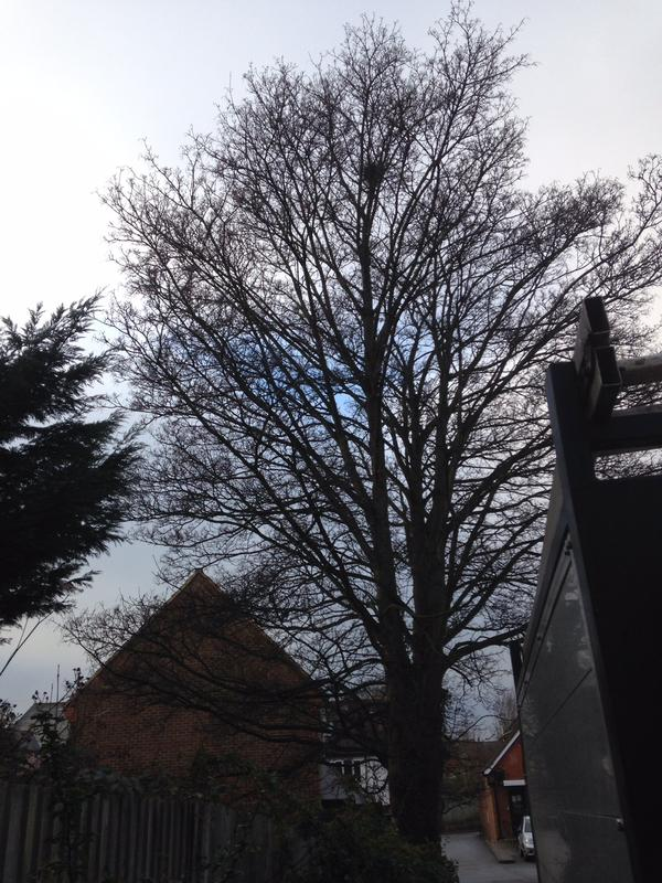 Image 4 - mature sycamore tree before 40% reduction