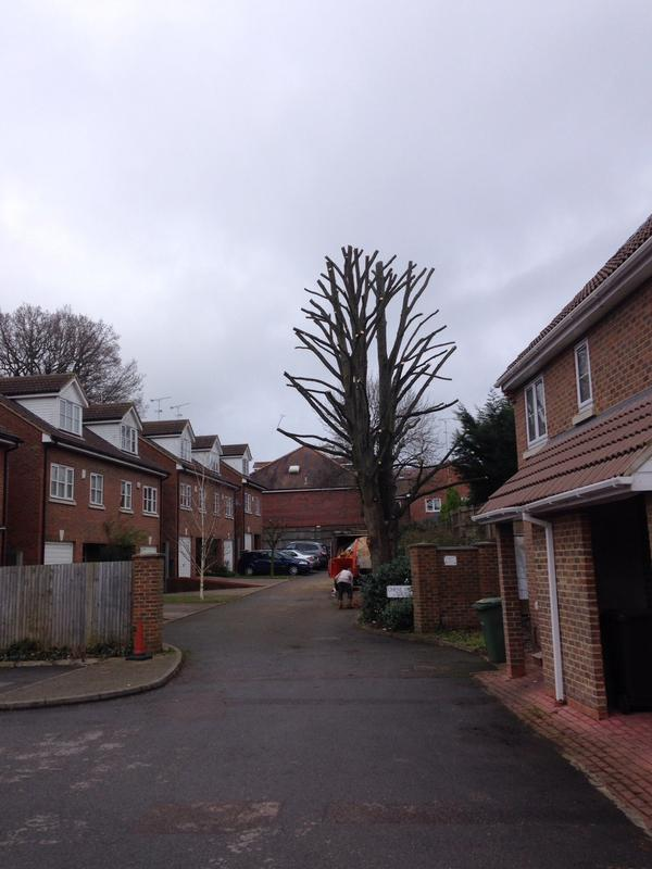 Image 5 - mature sycamore tree after 40% reduction