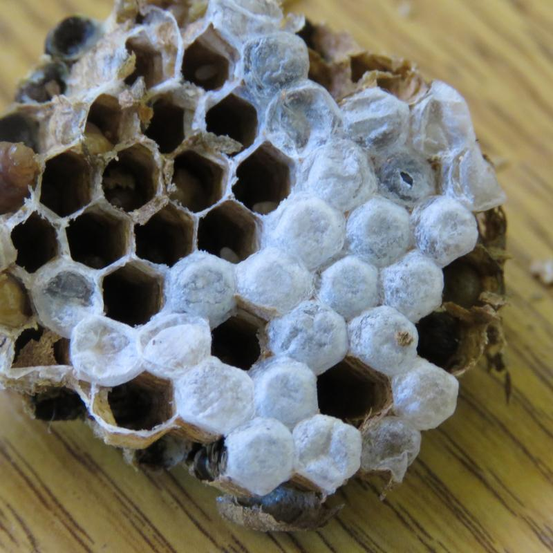 Image 21 - Wasp Nest Removal Specialists