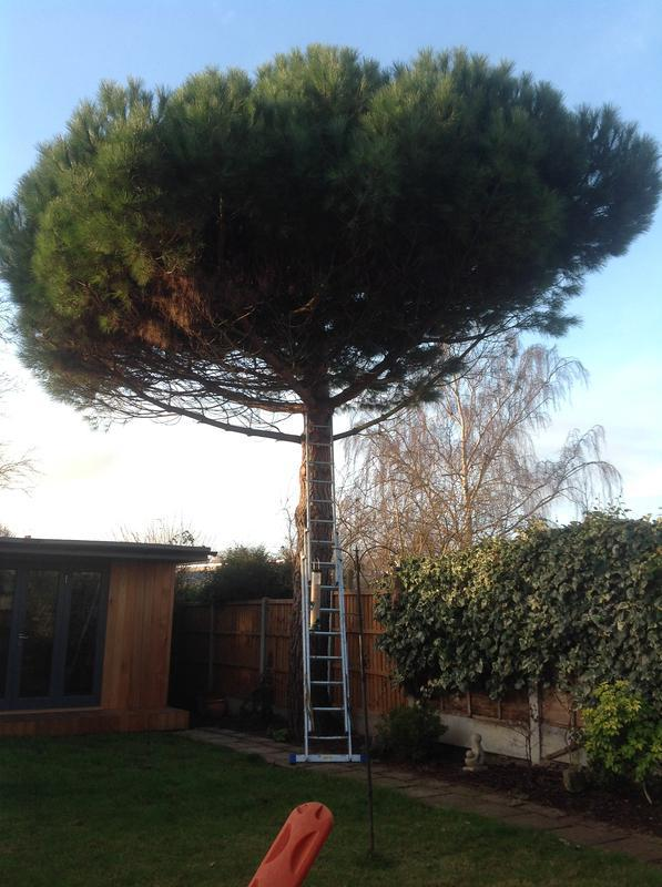 Image 47 - Pine take down in Westcliff Part 1