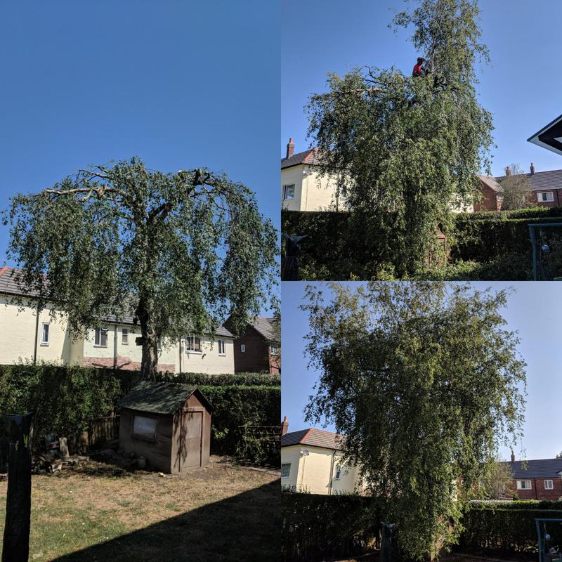Image 6 - We reduced this silver birch by 50% and gave a very minimal thin and lift to keep the privacy from the neighbours but also increase the light In the summer months.