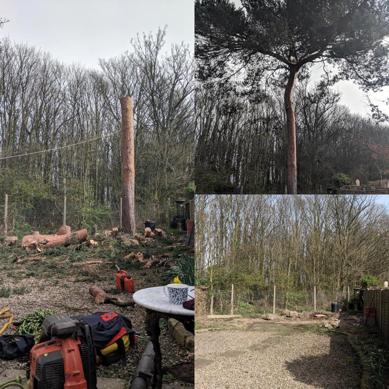 Image 7 - Here we removed this large Scots pine and removed the stump which was overpowering a small back garden. Ready for the garden to be re-landscaped fully.