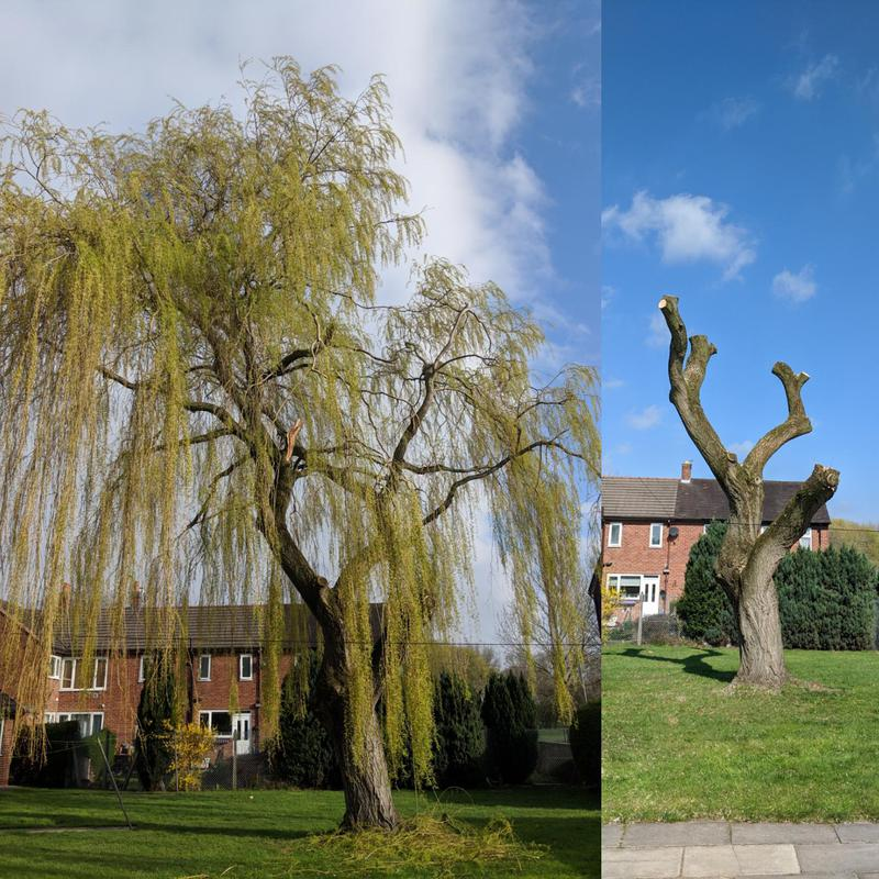 Image 5 - Pollarding this large willow tree after storm damage had left the canopy heavily weighted to one side.